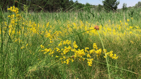 Yellow blooming wildflowers , Galium verum Footage