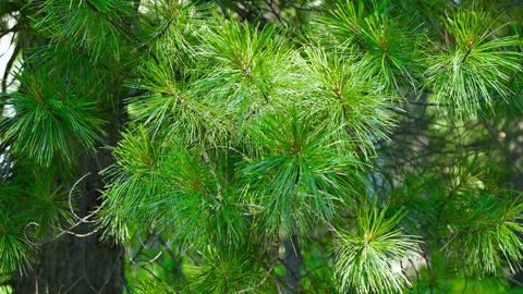 The cedar wood - branches of the Siberian cedar Footage