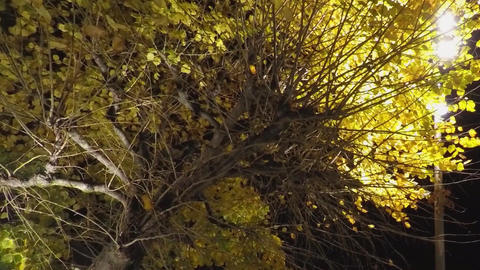 Big Yellow Tree In The Night 画像