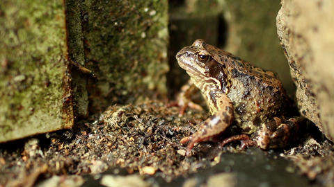Goggle-eyed Toad Footage