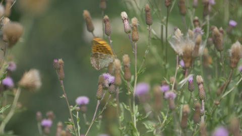 Kaisermantel Butterly - Argynnis Paphia - Closeup, Slowmo Footage
