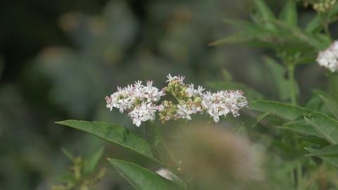 Butterfly, Araschnia Levana, Slowmo Footage