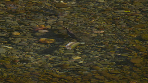 a pair of pink salmon Filmmaterial