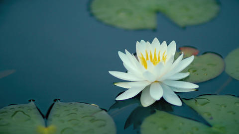 Water lily Nymphaea tetragona in a pond Footage