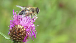 Close-up of a bee perched on a freshly bloomed thistle flower 画像