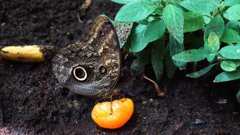 Butterfly eating orange 影片素材