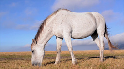 White horse with black spots, at grazing on alpine grassland with dry grass 3b Footage