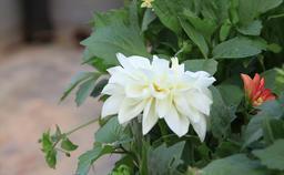 Dahlia flower Footage