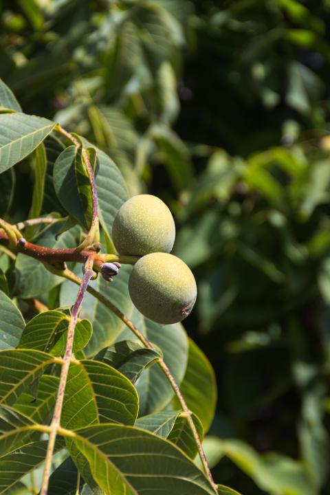 Walnut on a branch フォト