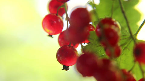 Bunches of red currants Footage