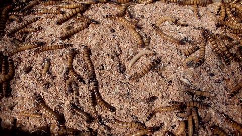 Flour maggots Filmmaterial