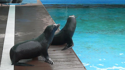 The fur seals 00056 画像