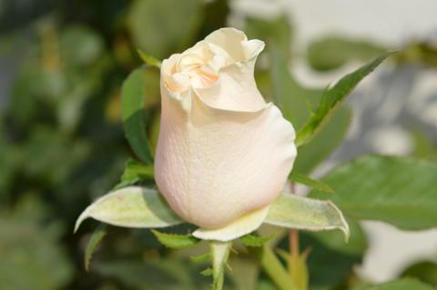 Delicate rose bud フォト