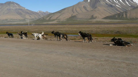 goup of sled dogs at svalbard in longyearbyen in summer Footage