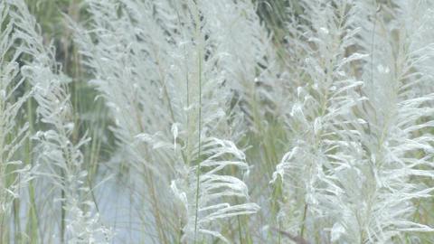 Kans grass , Saccharum spontaneum, Kolkata, West Bengal, India Footage