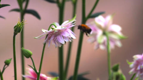 Bumblebee at Pink decorative aquilegia flowers Footage