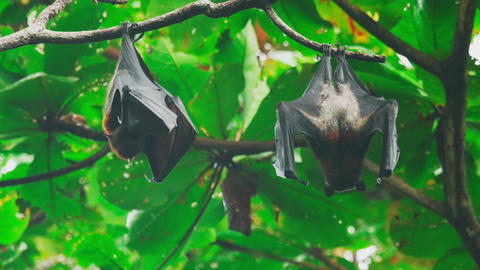 Flying foxes hanging on a tree branch and washing up Footage