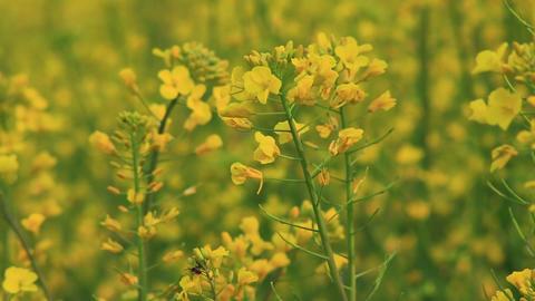 field mustard waving in the breeze Footage