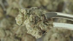 Kanabis. Marijuana. Close-up Footage