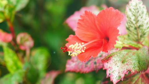 Red hibiscus flower Footage