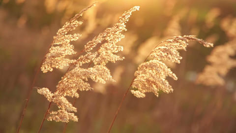 Fluffy Grass at Sunset Trembles in the Wind Filmmaterial