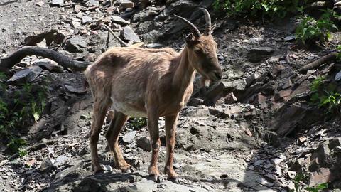 West Caucasian goat (Capra Caucasica) Footage