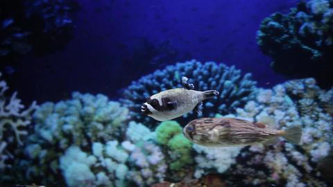 Puffer fish Footage
