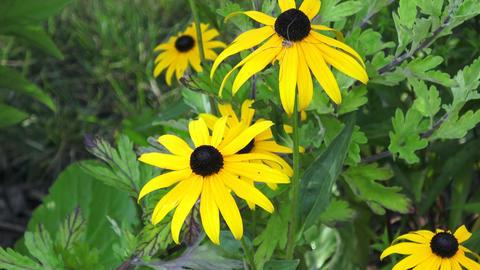 Yellow Rudbeckia Fulgida flowers in a garden Footage