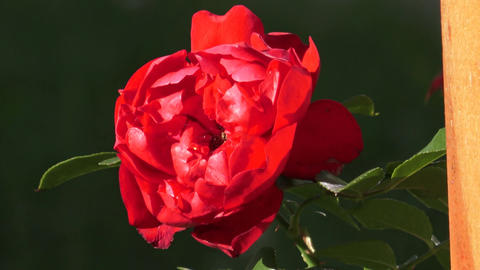 Red Roses on a bush in a garden. Red rose on the branch in a garden Live Action