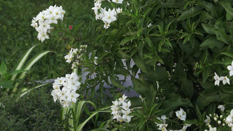 Ornamental shrub with white flower.Popular as ornamental plant Footage
