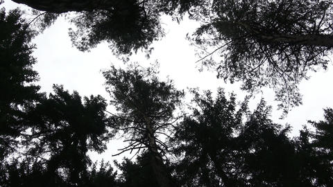 Dark crowns of trees tending upwards, into the sky Footage