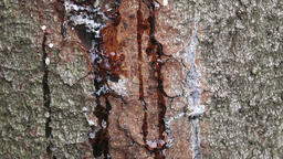 Resin on pine trunk, horizontal shot. Stripped bark on the trunk of a pine. The  Footage