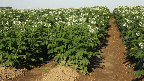 Potato plants flowering in the field in rural. Rows of potatoes in field Live Action