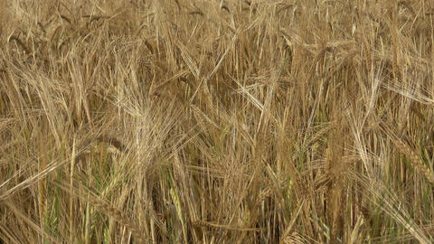 Field of barley. Yellow grain ready for harvest growing in a farm field Image