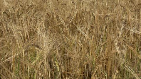 Field of barley. Yellow grain ready for harvest growing in a farm field 画像
