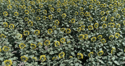 Field with sunflower. Shooting with a drone 画像