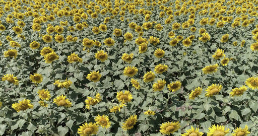 Aerial Drone View Of Sunflower Plantation Footage