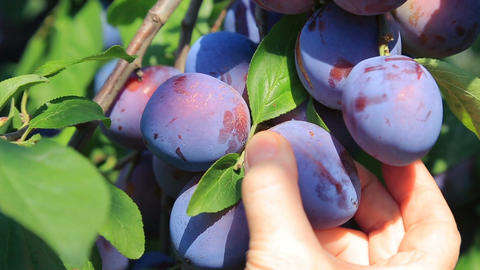 Harvesting of ripe plums Footage