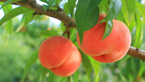 Peaches in orchard. Close up, shallow DOF Image