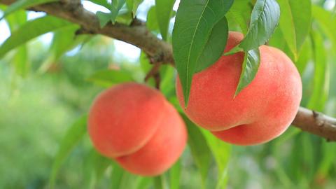 Picking peach fruit GIF