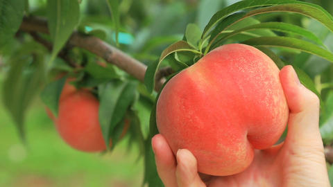Hand picked ripe peach from peaches tree Footage