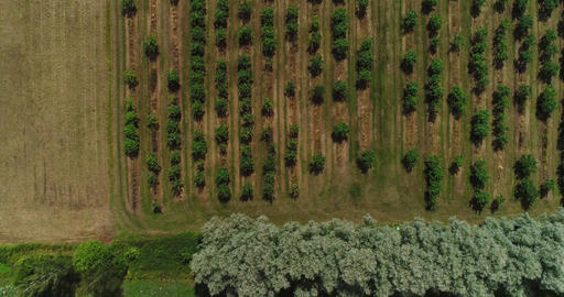 Apple trees from above Cinema 4k aerial tilt view on a lot of apple trees in a a Footage