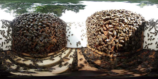 360VR video of Inside a Bee hive with honeybees Footage