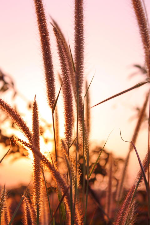 Grass flower in sunset 20 Fotografía