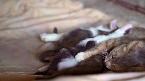 Kittens and a cat Stock Video Footage