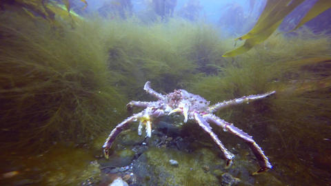 Exciting underwater diving in the cold Barents sea. Arctic ocean. Russia. King c Footage