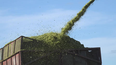 harvester loading corns of maize corn into tipper on blue sky. Panorama. 4K Footage