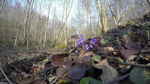 blue hepatica flowers grow in spring forest. 4K Footage