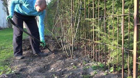 gardener dig flower bed soil ground near rose stems. 4K Live Action