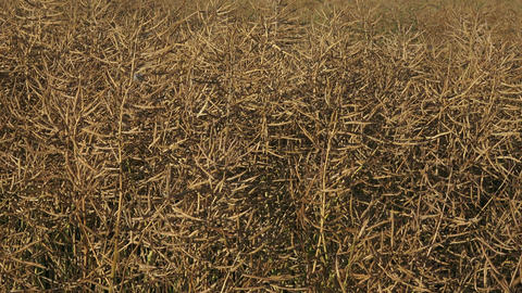 Dried matured rape in the field. Field of ripe rape Image